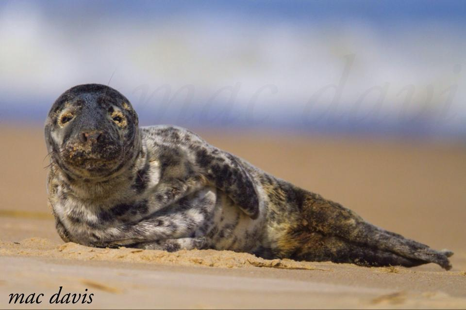 seal, harbor seal pup, cape henlopen state park, atlantic seal, beached mammal,