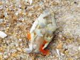 sand flea, bethany beach, delaware, sussex county, beach replenishment, fenwick island state park