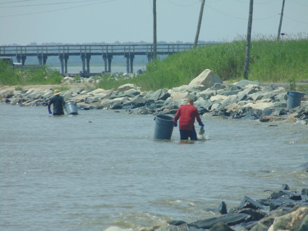 horseshoe crabs, harvesting, port mahon, delaware, kent county