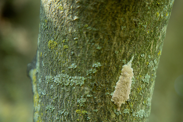egg mass, lanternfly, lantern fly