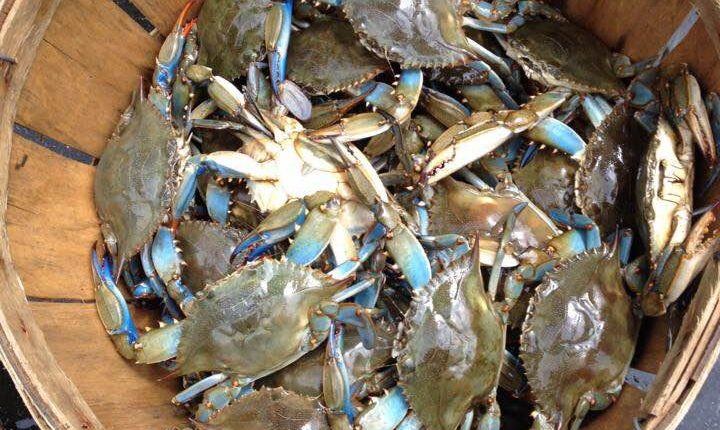 blue claw crabs, inland bays, delaware, sussex county,