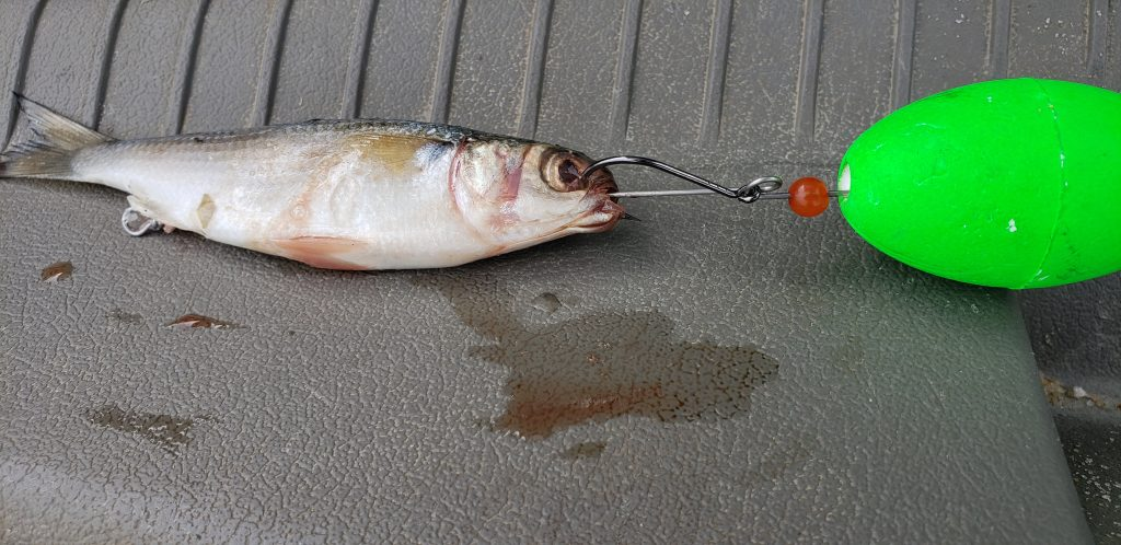 modified mullet rig, catching bluefish in delaware, delmarva, surf fishing rigs, mullet rig, ds custom tackle, buy local