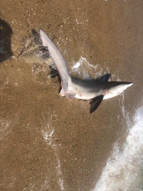 rehoboth beach shark, dead shark, trashcan shark, delaware, sussex county, gordons pond, surf fishing