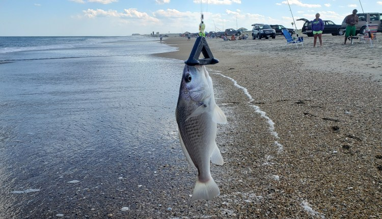 Big croaker in the surf at cape henlopen