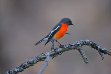A bird hunting by itself. No other Flame Robins were in the area.