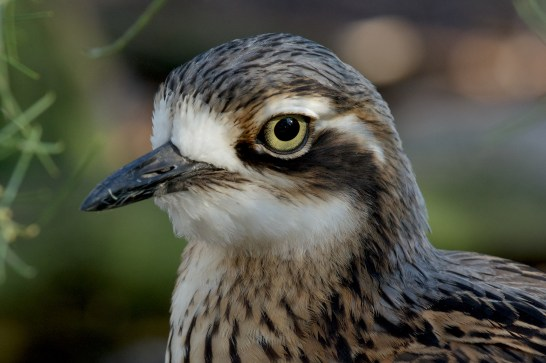 Bush Stone-curlew. Or sometimes called Bush Thicknee