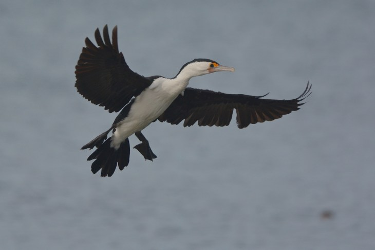 Pied Cormorant on landing approach