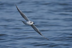 White-winged-Terns-04