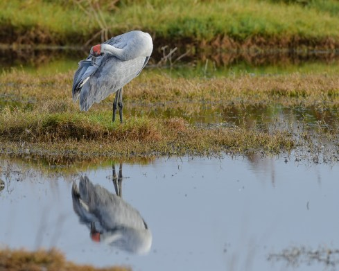 A pretty interesting refelection makes the preening stance more enjoyable