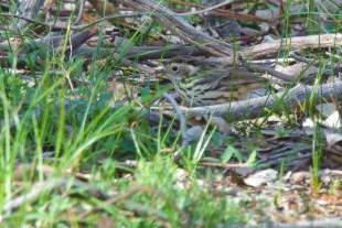 Fine the Speckled Warbler