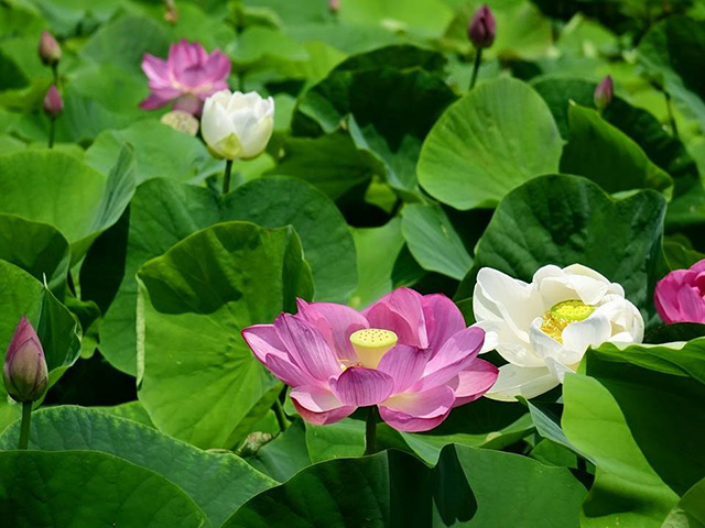 baihe-lotus (3)