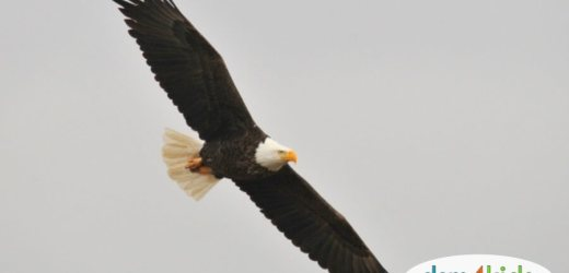 Winter 2020: When and Where You Can View Bald Eagles in Des Moines