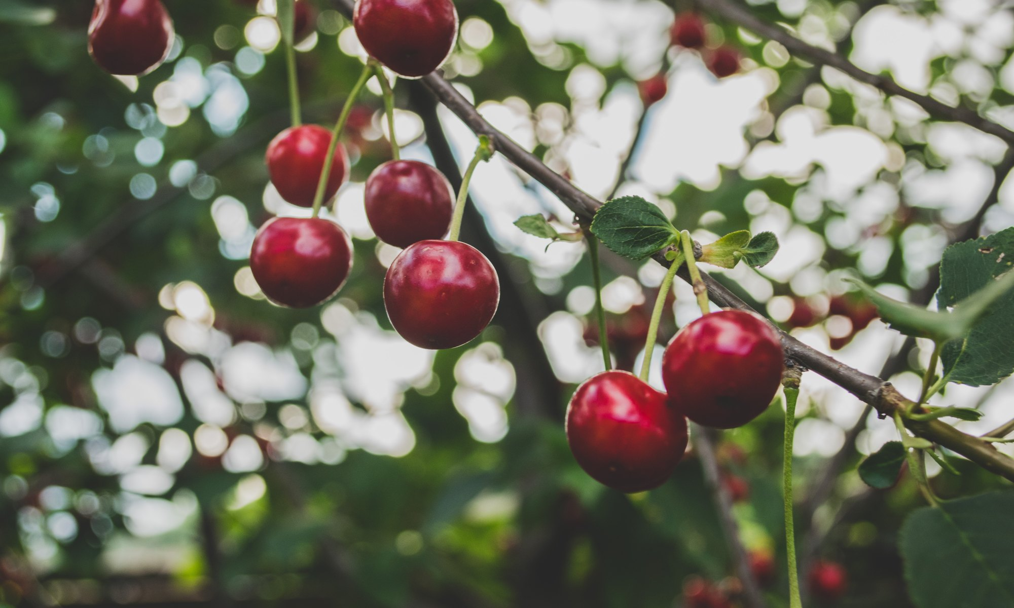 Red cherries growing on a tree