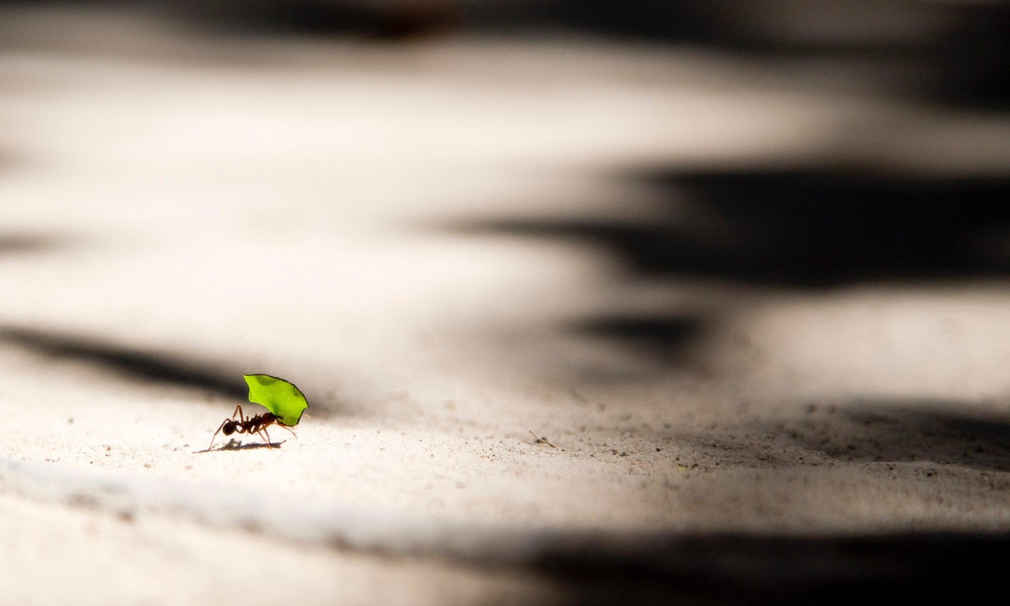 Ant working hard to carry a green leaf