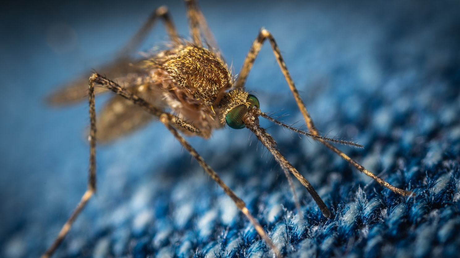 Brown mosquito on blue carpet