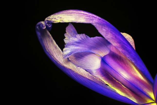 """Ballerina Iris"" - After Color Efex Pro 4"