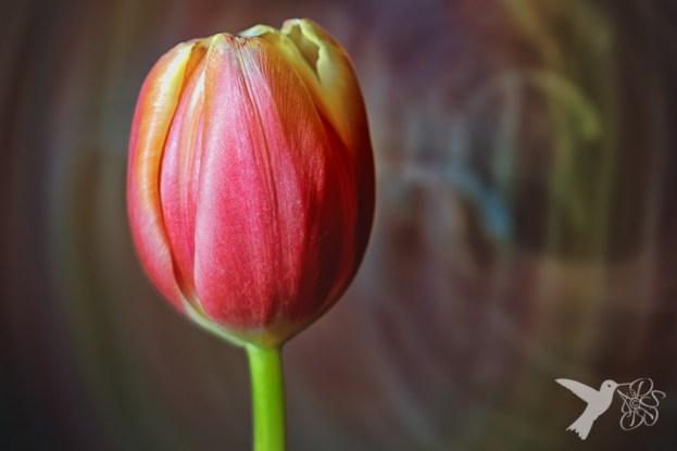 Light painted tulip 1