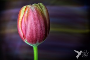 Light painted tulip 2