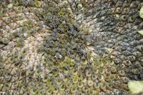 sunflower florets beginning to dry