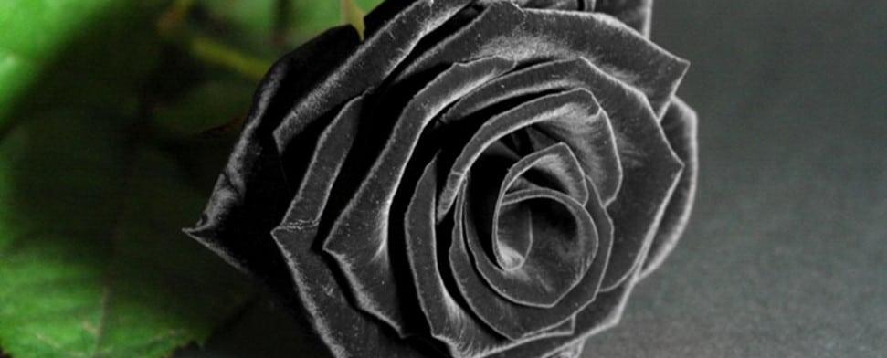 die schwarze rose aus halfeti dtj online. Black Bedroom Furniture Sets. Home Design Ideas