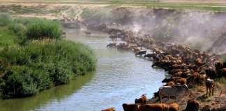Rinderzucht in der Türkei