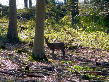 Deer in Cheriton Wood