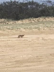 Fraser Island Dingo