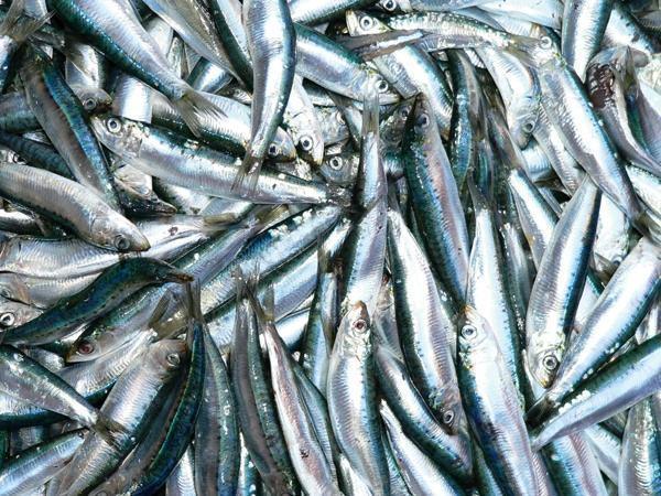 Loài cá trích đảo Phú Quốc dùng để làm gỏi cá trích