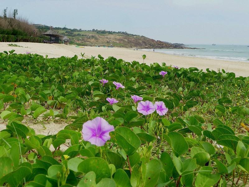 Hình ảnh hoa muống biển trên đảo Hòn Một