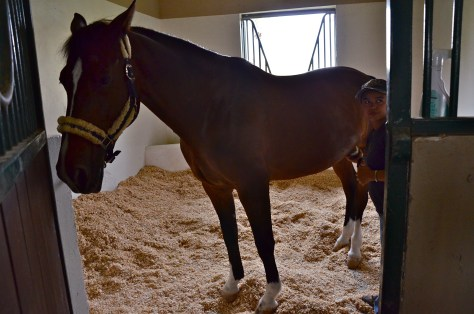 Horse getting groomed in their stables