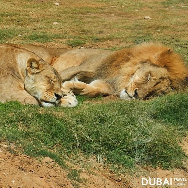 al ain zoo lions