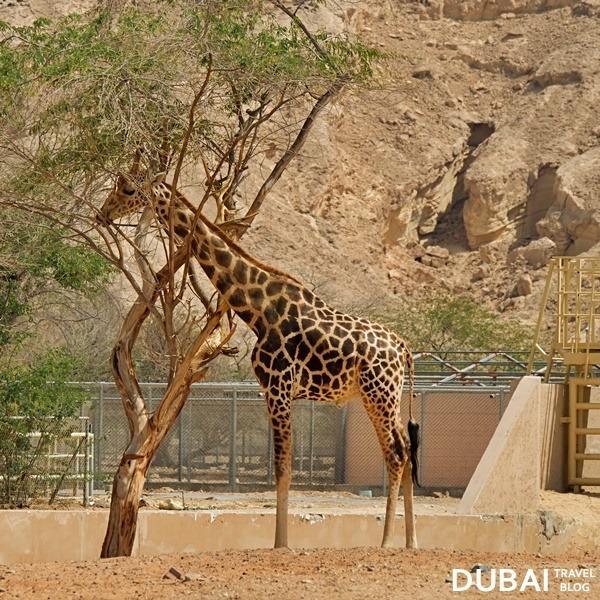 giraffe al ain zoo