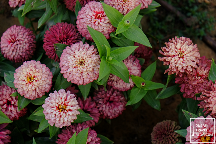 dubai miracle garden pink flowers