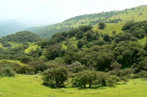 Monsoon-kissed: A Frankincense forest during the summer khareef rains