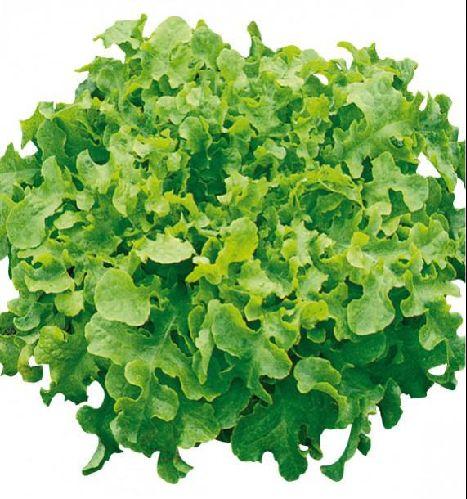 Laitue feuille de chêne verte Image