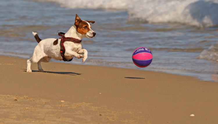 cute purebred dog playing with ball on sandy beach