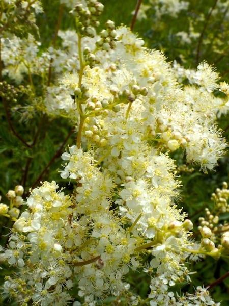 Kleine weisse Blüten zeichnen das Mädesüss aus.