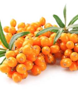 Sea ​​buckthorn. Amazing high of Vitamin C