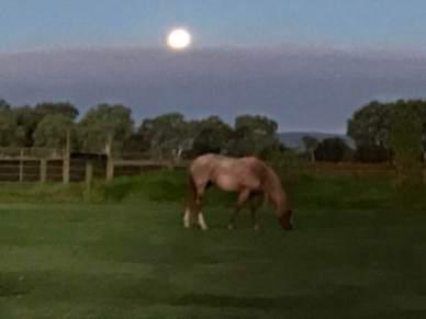 Ms Cherry grazing in the moonlight