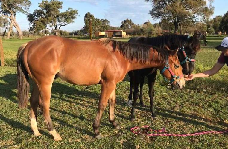 """""""Chester"""" (The Lopin Machine x YLS Sultary ) yearling gelding."""