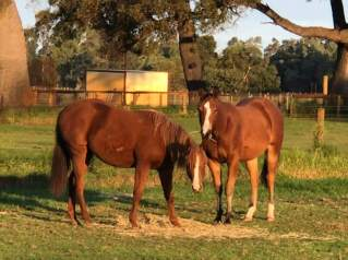 Yearlings. Ginger and Chester.
