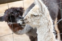 alpaca 10