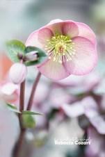 FLOWERS - Heleborus pink