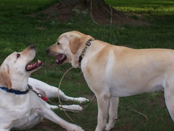 Labrador Retrievers, dogs www.ducksnarow.com