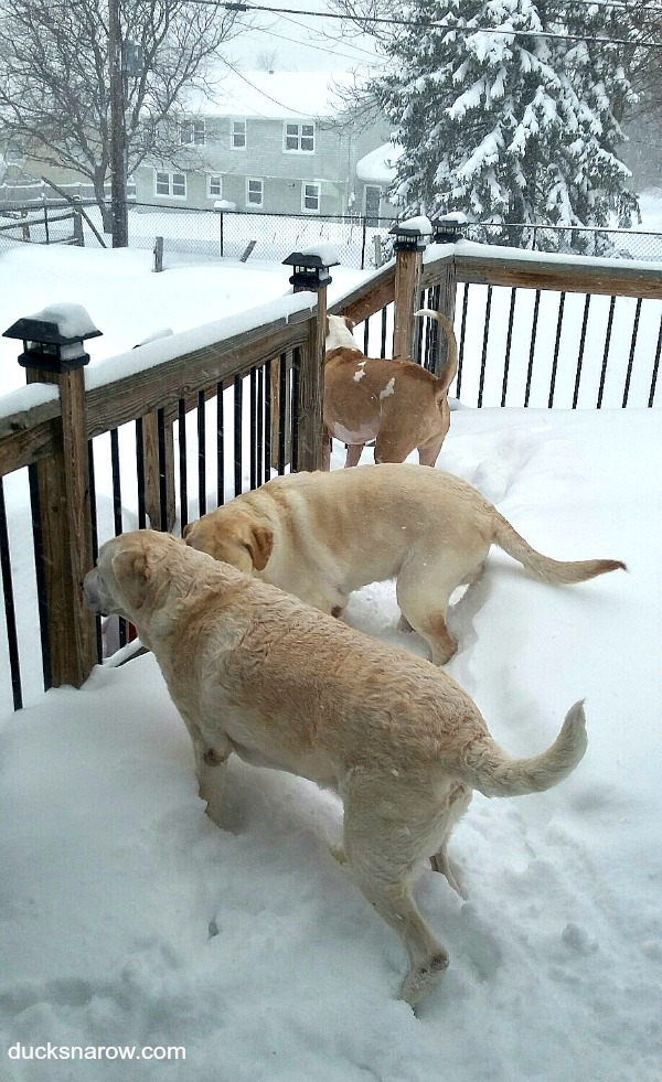 Three dogs on the snow piled deck #blizzard