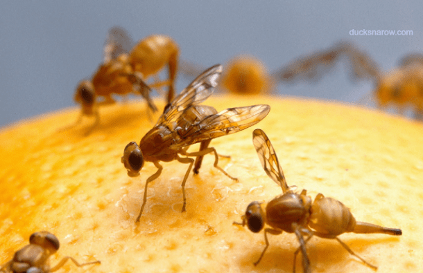 Fruit flies and natural fruit fly trap #tips