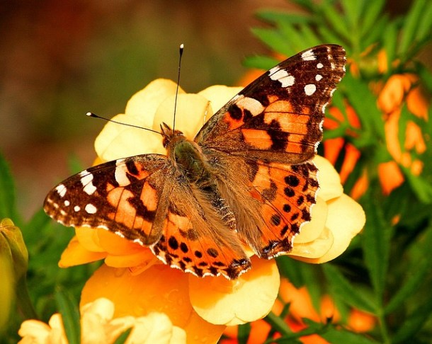 life cycle of a butterfly, butterfly craft, Painted Lady butterfly