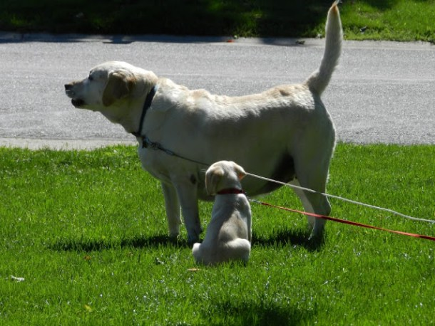 English labs, Labrador Retrievers