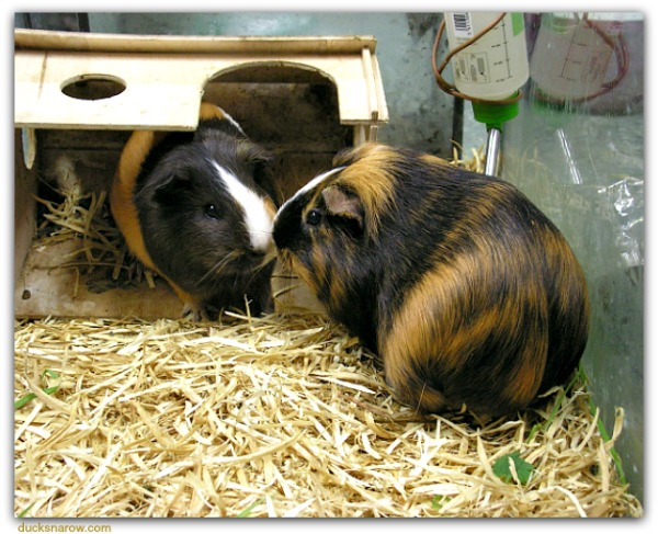 Two guinea pigs are better than one! #pets