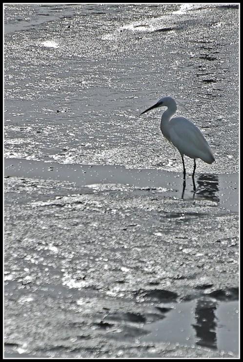 CP-DSC_4688-aigrette marée basse
